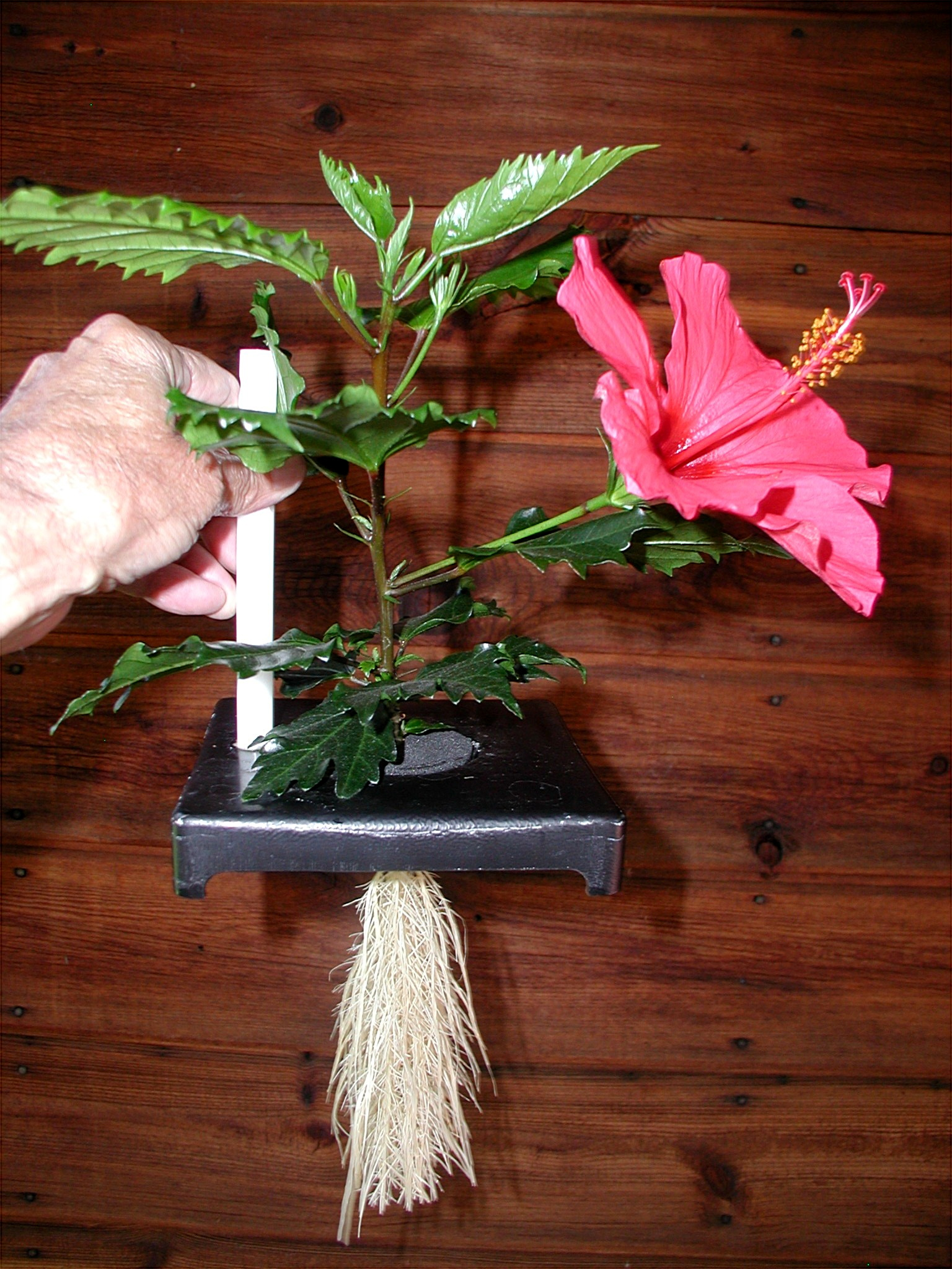 Aeroponics not Hydroponics - Hibiscus Started from a Cutting... Simple to use and maintain.